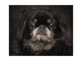 Black Pekingese Portrait