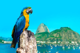 Blue and Yellow Macaw in Rio De Janeiro  Brazil