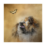 Butterfly Dreams Pomeranian