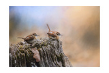 Two Little Wrens