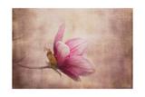 Pink Magnolia 1