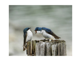 Angry Swallows