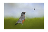 Robin in the Field