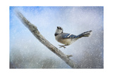 Bluejay in the Snow