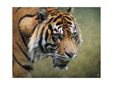 On the Prowl Bengal Tiger