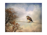 American Kestrel in Autumn