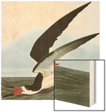 Black Skimmer or Shearwater Black Skimmer (Rynchops Niger)  from 'The Birds of America'