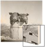 1950s Two Duroc Pigs Piglets in a Nail Keg Barrel Farm Barn in Background Pork Barrel Cute