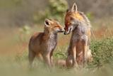 Fox Felicity