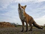 The Curious Fox