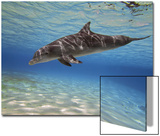 A Bottlenose Dolphin Swimming the Barrier Reef  Grand Cayman