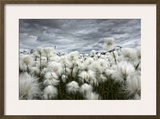 Iceland   Landmannlaugar  Flowering of Cottongrass and the Iceland Sky  Leaden and Exciting