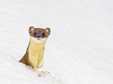 Wyoming  Sublette County  Summer Coat Long Tailed Weasel in Snowdrift