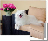 American Eskimo Lying on Patio Couch