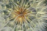 USA  Pennsylvania Dandelion Seedhead Close Up