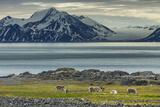 Reindeer in Svalbard Norway
