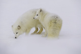 Artic Foxes