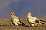 Pair of Egyptian Vultures in Courtship Ngorongoro Area  Tanzania