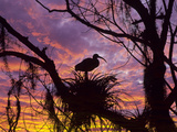 USA  Florida Ibis on Nest at Sunset