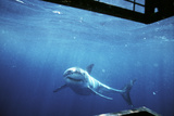 South Australia  Great White Shark  Carcharodon Carcharias