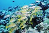 Palau  Yellowstripe Snapper  Lut Janus Kasmica