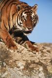India  Bengal Tigers  Panthera Tigris