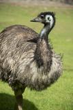 Australia  South Australia  Adelaide Cleland Wildlife Park Emu