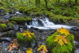 Fall Leaves Along Gorton Creek in the Columbia Gorge  Oregon