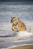 Bengal Tigers  Panthera Tigris