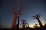Baobob Tree  Madagascar