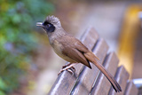 A Masked Laughing Thrush in Kowloon Park  Hong Kong