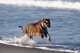 Bengal Tiger  Panthera Tigris