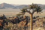 Namibia  Naukluft National Park  Quiver Tree  Aloe  Kokerboom