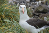 Falkland Islands West Point Island Black Browed Albatross