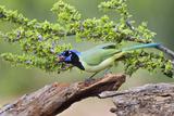 Starr County  Texas Green Jay  Cyanocorax Yncas  Eating Acorn