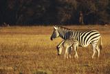 Zimbabwe  Hwange National Park  Linkwasha  Mom and Baby  Burchells Zebra