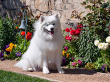 American Eskimo Dog on Garden Path with Flowers