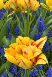 Netherlands  Lisse Tulips and Grape Hyacinth at Keukenhof Gardens