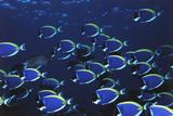 Schooling Powder Blue Surgeonfish  Acanthurus Leucosternon