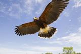Kendall County  Texas Harriss Hawk Landing  Captive Bird