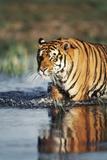 India  Bengal Tiger  Panthera Tigris