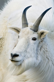USA  Colorado  Mount Evans Recreation Area Mountain Goat Portrait
