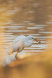 Lake Murray San Diego  California a Great Egret and Catch