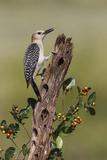 Hidalgo County  Texas Golden Fronted Woodpecker in Habitat