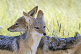 Africa  Namibia  Etosha National Park Two Black Backed Jackals