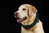 USA  Oregon  Keizer  Labrador Retriever in Her Christmas Collar  Pr