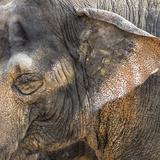 A Close Up of the Eye and Ear of an Asian Elephant  Cincinnati Zoo