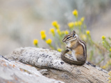 Wyoming  Sublette County  Least Chipmunk with Front Legs Crossed