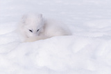 Arctic Fox camouflaged in the Snow