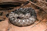Desert Massasauga Rattlesnake  Sistrurus Catenatus Edwardsi
